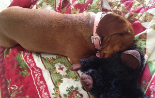 Small red dog with pink collar snuggles stuffed black monkey on comforter at Red Rover Pet Services Dog Daycare and Boarding