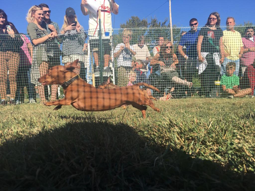 Dachshund Rubi races at Oktoberfest Dachshund Derby