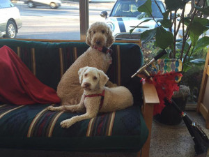 Apricot standard podle and lagotta Romagnolo on the couch at Red Rover Pet Services LLC, Nashville TN.