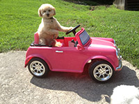 Apricot, miniature poodle drives a pink convertible Mini Cooper at Red Rover Pet Services Dog Daycare and Boarding