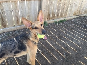 Playful pup stands in front of fence with tennis ball in mouth and looks up-at Red Rover Dog Daycare and Boarding in Nashville