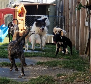 Six Dogs Running and Playing Outside Red Rover Pet Services LLC Dog Daycare and Boarding