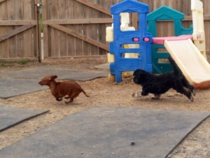 Dogs Play Chase Outside Red Rover Pet Services Dog Daycare and Boarding