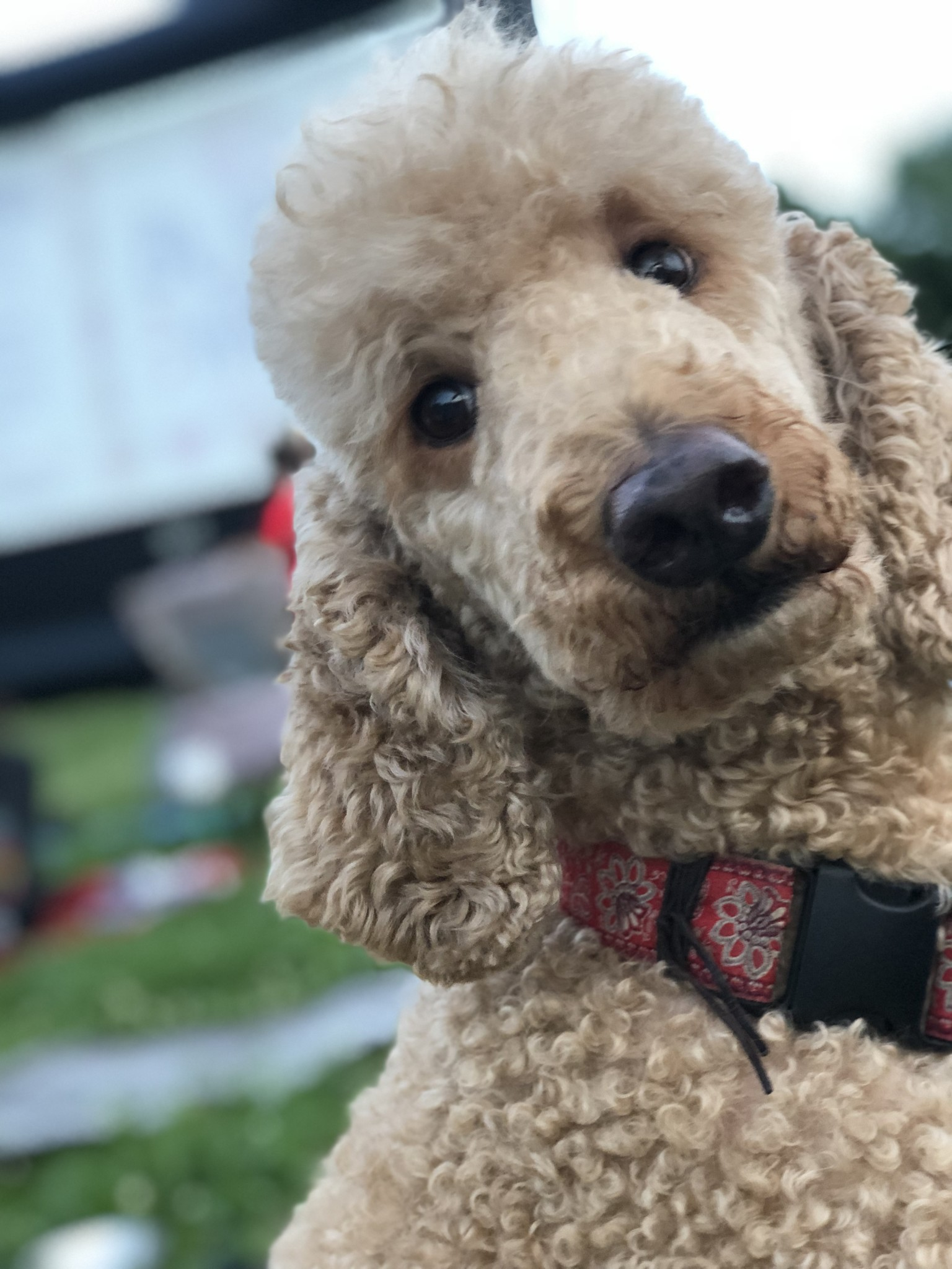 Apricot standard poodle at movies in the park in Nashville TN. Companion dog at Red Rover Pet Services LLC.