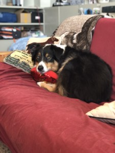 Tri color Australian shepherd on the couch with a pillow at Red Rover Pet Services LLC, Nashville TN.